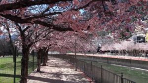 Andorra La Vella Cherry Trees